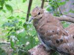 Placid Mourning Dove 3 by Windthin