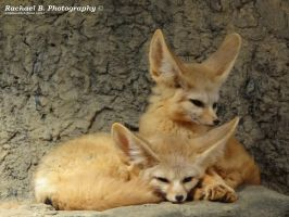 .:Fennec Foxes:. by jellybean12365