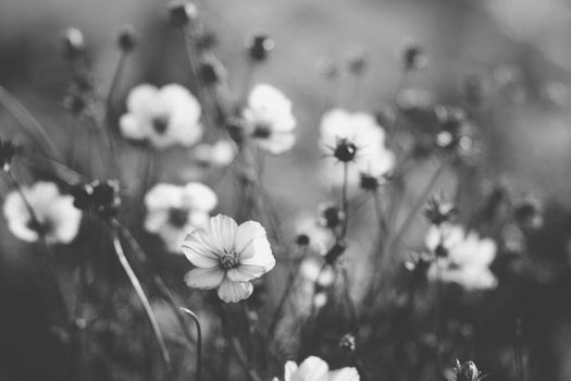 Black and White Cosmos by sayra