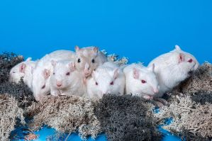 The Gerbil Albino Family Portrait by ErikTjernlund