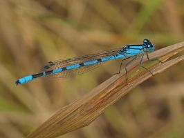 Blue Damselfly by davepphotographer