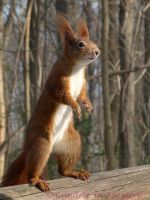 Squirrel 26 by Cundrie-la-Surziere