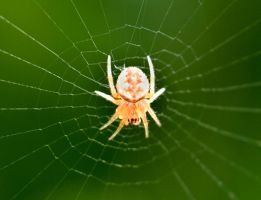 Albino Spider? by DirtyLittleDevil
