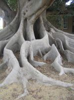 Giant fig tree 1 by drumic-stock