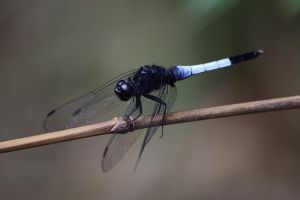 Orthetrum triangulare by fire