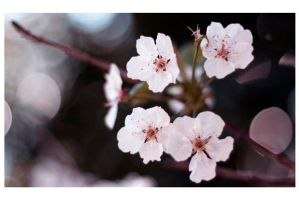 blossom by indie-click