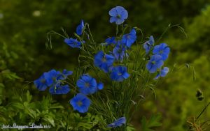 The blue Flowers.HDR-fantasy. by magyarilaszlo