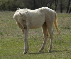 Palomino Yearling by SalsolaStock