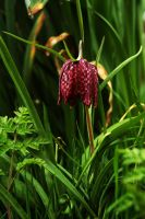 First Fritillary by EarthHart