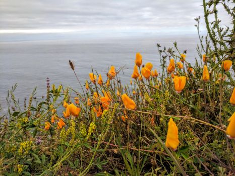 Wildflowers Overlooking Schoolhouse Beach, Califo by PamplemousseCeil