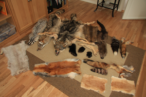 Tanned Taxidermy furs for sale by seriousbadger