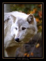 Wild Beauty  2 by LoneWolfPhotography