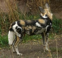 African Wild Dog VI by oOBrieOo