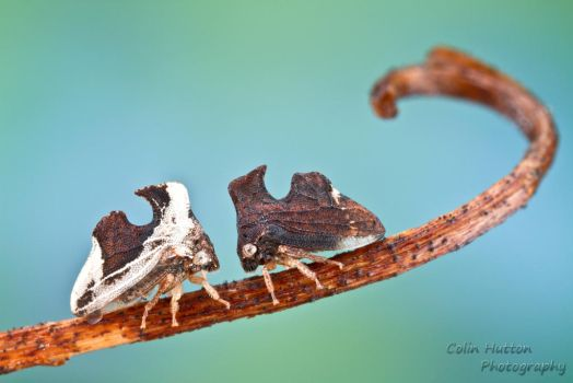 Treehoppers - Entylia carinata by ColinHuttonPhoto