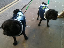 Pugs in jumpers by My-Life-In-Pictures