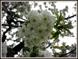 Cherry Tree 2 by soulindarkness