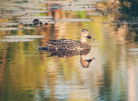 Mottled Mallard by CandiceSmithPhoto