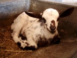 Baby goat by MissLoony