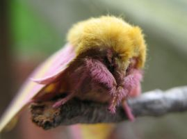 Rosy Maple Moth II by Dellessanna
