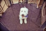 Old English Sheepdog by LondonHimself