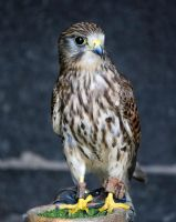 Ailla - Common Kestrel by Steve-FraserUK