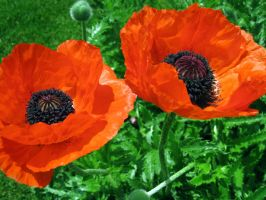 poppies. by piratewench831