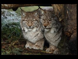 Little Big Cats by Bogbrush