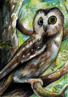 Saw-whet Owl by animalartist16