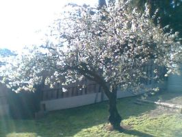 Another cherry tree by Relic-Angel
