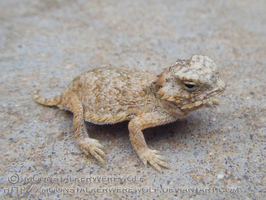 Baby Regal Horned Lizard by MoonstalkerWerewolf