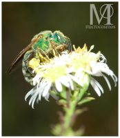 Green Bee - Halictid II by microcosmos