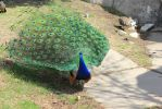 Peacock 1 by silverlakephotos