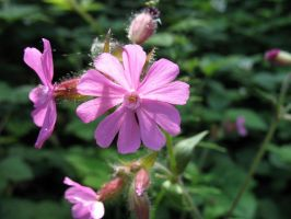 Red Campion by Ommadawn