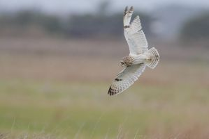 Short eared owl... by phalalcrocorax