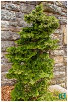 Ft Tryon Pine by emailartist26