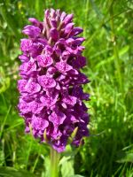 Wild Purple Orchid by iriscup