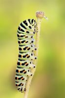 Papilio machaon by bua89
