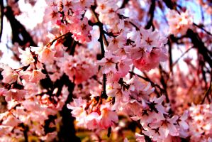 Cherry blossom - III by Misakie