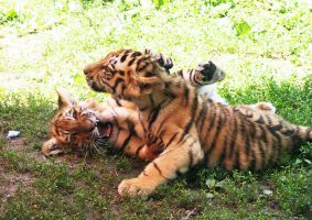 Tiger cubs playing 02 by FoxRAGE-Stock