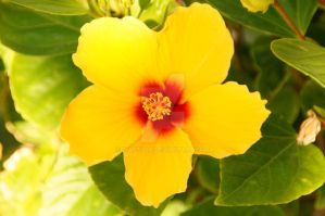 hawaiian flower by Diastola