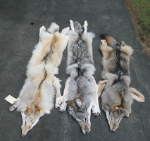 Wolves, Wolves, Wolves by TabbyFoxTaxidermy