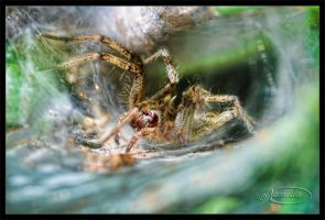Funnel Web Spider by Nameda