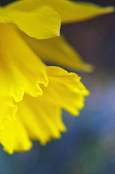 Daffodil Joy by Esteficita