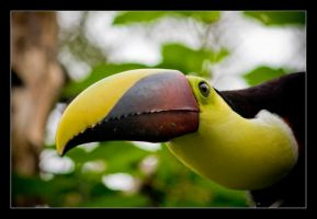 Chestnut-mandibled Toucan. by feudal89