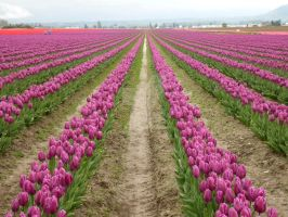 Tulips 30 by whisper-n-the-wind