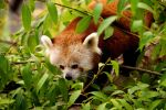 Red panda is red by Tygrik