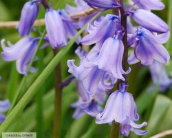 Blue Bells by fluffyvolkswagen