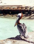 Brown Pelican by olearysfunphotos