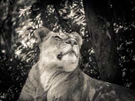Lioness II by mikeheer