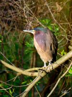 Little Heron by AzureWindProductions